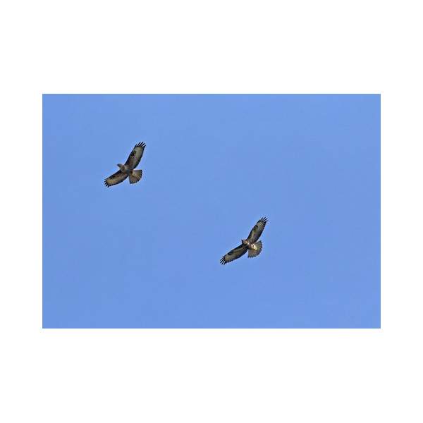 Two Buzzards Circling