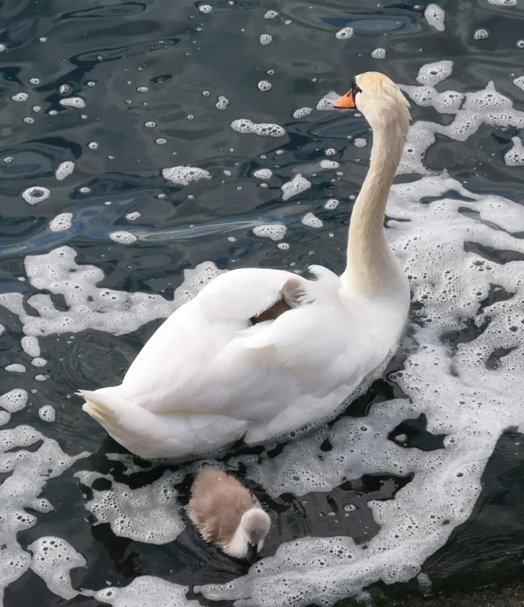 Mother Swan (Joanne Barton, GLD)